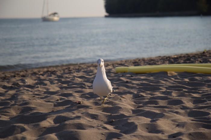 Seagull on the beach on Ward Island