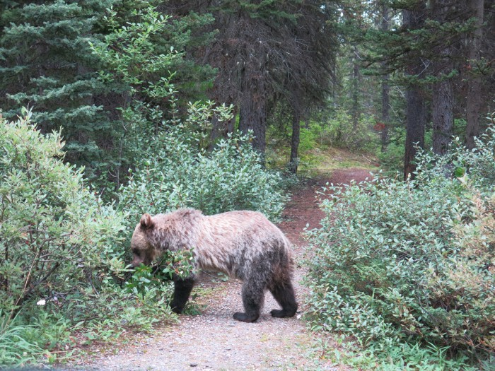 A brown bear baby eating in the forest in the Rocky Mountains, an encounter when hiking