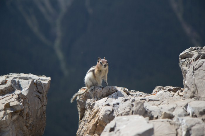 Chipmunk in the Rocky Mountains, is it Chip or Dale, black nose it has