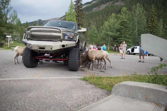 Stupid goats trying to fit under the car in Jasper, the whole crew!