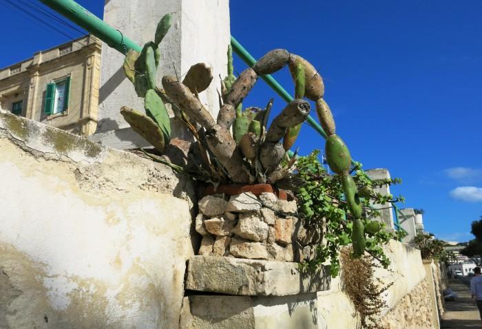 Maltalla kaikkialla on kaktuksia