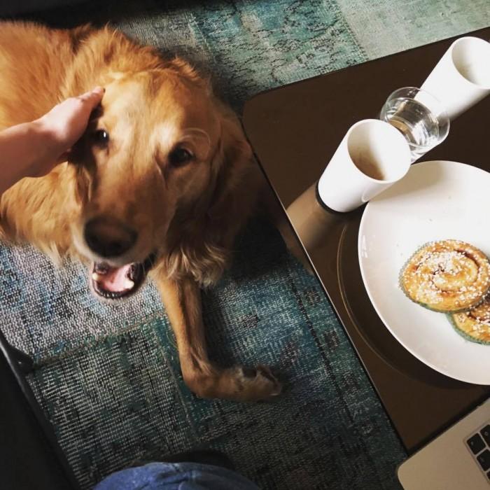 Golden retriever as an office dog